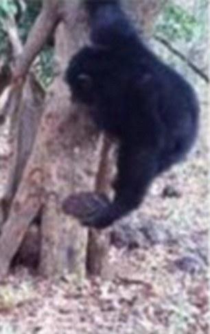 Scimpanzé rito bizzarro: credono in Dio6
