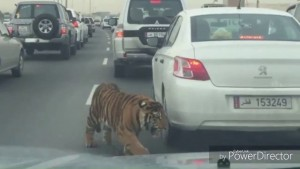 Leone in autostrada a Doha: traffico in tilt2