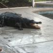 Tornano dalle vacanze trovano coccodrillo in piscina