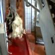 YOUTUBE video CHOC Agnelli urlano, testa e zampe mozzate (3)