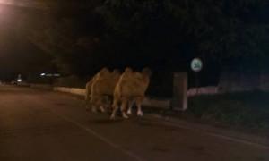 Cesate, cammelli in strada: fuggiti dal circo VIDEO