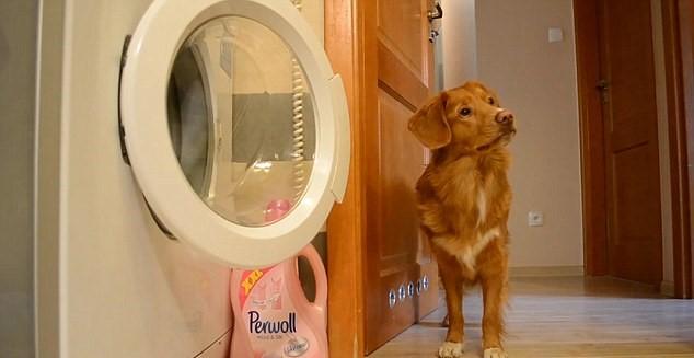 Cane fa bucato: chiude lavatrice, poi stende panni
