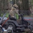 Cane guida trattorino e distrae troupe tv che filma tornado02