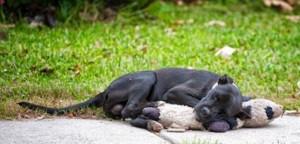 Guarda la versione ingrandita di Cane randagio dorme abbracciando il suo peluche