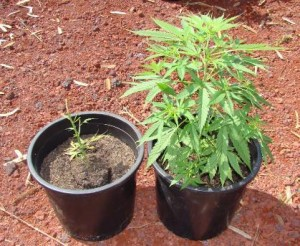 Consulta: Coltivare cannabis per uso personale resta reato