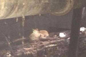 Guarda la versione ingrandita di Gatti sopravvivono a incendio e…tornano a cercare padrone
