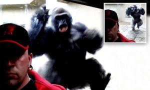 Scattano selfie, gorilla risponde ai visitatori