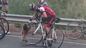 Guarda la versione ingrandita di Koala assetato ferma ciclista e beve da sua borraccia FOTO