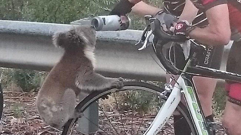 Koala assetato ferma ciclista e beve da sua borraccia FOTO03