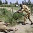 Kenya, leone attacca uomo: ranger lo abbattono