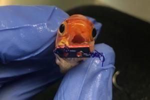 ll pesce rosso con apparecchio dentale ora può mangiare FOTO
