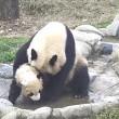 Cucciolo panda cerca di evitare il bagnetto 3