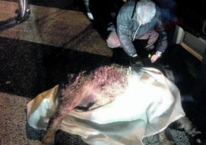 Morto pony investito sul Gra a Roma: si cerca il proprietario