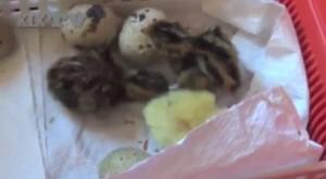Compra uova quaglia a supermercato e...nascono pulcini VIDEO