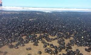Scarafaggi invadono costa Argentina: è mistero