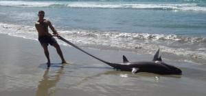 Guarda la versione ingrandita di Raro squalo volpe occhione spiaggiato in Nuova Zelanda FOTO