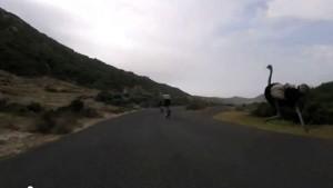 Struzzo insegue due ciclisti