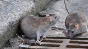 Roma, emergenza topi: sangue di roditori sulla scrivania...