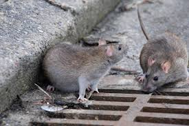 Topi invadono Roma, emergenza anche negli ospedali