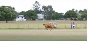 Sydney: toro entra in campo, calciatori scappano