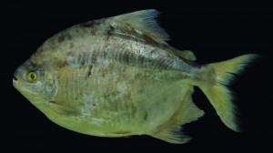 Zorro, il pesce cugino (e vegetariano) del piranha