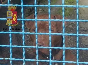 Genova. Combattimenti illegali tra pitbull, 5 denunciati