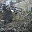 Aquila e aquilottti mangiano gatto nel loro nido3