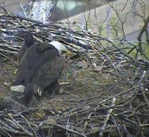 Guarda la versione ingrandita di YOUTUBE Aquila e aquilottti mangiano gatto nel loro nido