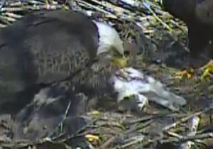 Aquila e aquilottti mangiano gatto nel loro nido2