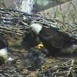 Aquila e aquilottti mangiano gatto nel loro nido