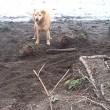 Cane cerca di seppellire bastone usando il muso 2