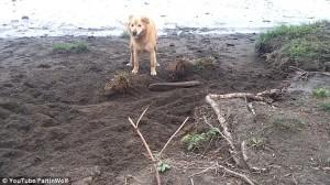 Guarda la versione ingrandita di YOUTUBE Cane cerca di seppellire bastone usando il muso