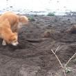 Cane cerca di seppellire bastone usando il muso