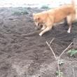 Cane cerca di seppellire bastone usando il muso 7