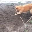 Cane cerca di seppellire bastone usando il muso 5
