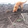 Cane cerca di seppellire bastone usando il muso 4