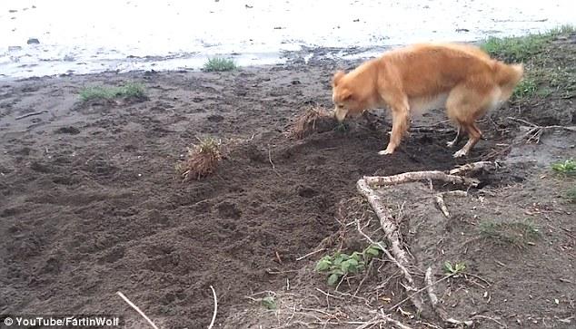 Cane cerca di seppellire bastone usando il muso 3