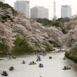 Ciliegi in fiore nel parco Shinjuku Gyoen di Tokyo6