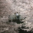 Ciliegi in fiore nel parco Shinjuku Gyoen di Tokyo2