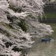 Ciliegi in fiore nel parco Shinjuku Gyoen di Tokyo7