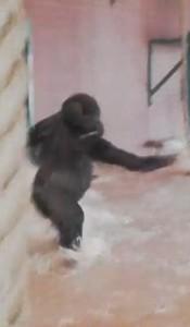 Guarda la versione ingrandita di YOUTUBE Gorilla di tre anni fa le piroette allo zoo