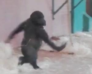 Gorilla di tre anni fa le piroette allo zoo 6