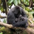 I gorilla gemelli nati in Ruanda 2