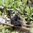 I gorilla gemelli nati in Ruanda