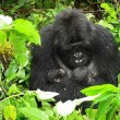 I gorilla gemelli nati in Ruanda 9