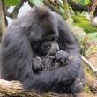 I gorilla gemelli nati in Ruanda 8
