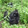 I gorilla gemelli nati in Ruanda 7