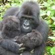 I gorilla gemelli nati in Ruanda 6