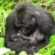 I gorilla gemelli nati in Ruanda 5