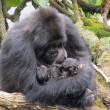 I gorilla gemelli nati in Ruanda 4